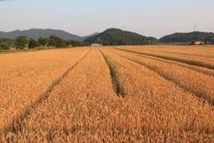 Banatka w rolnym polu fotografia royalty free