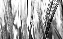 Banatka w wiośnie w czarny i biały Fotografia Royalty Free