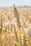 Banatka - Zamyka up pszeniczny pole Obraz Stock