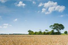 Banatka - Zamyka up pszeniczny pole Obrazy Royalty Free