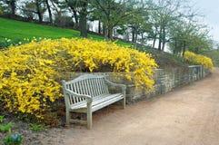 Banc avec la floraison de forsythia Photo stock