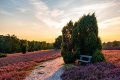 Banc dans la bruyère rose, lueneburger Heide, Allemagne photo libre de droits
