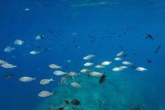 Banc de la mer Méditerranée des poissons sous-marins Image stock