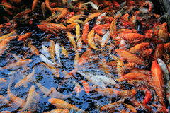 Banc de la natation de poisson rouge sous la surface de l'eau dans la piscine dehors, groupe d'instruire les poissons rappelés images stock