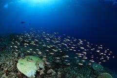 Banc de petits poissons Images stock