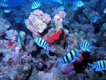 banc de récif de poissons Image libre de droits
