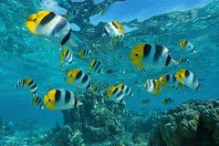 Banc des butterflyfish sous-marins de poissons tropicaux Photos libres de droits