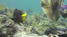 Banc des grognements de Smallmouth sur Coral Reef banque de vidéos