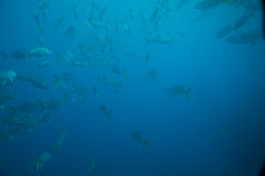 Banc des poissons Photo libre de droits