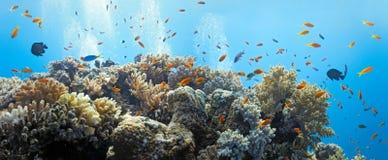 Banc des poissons d'anthias Images libres de droits