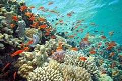 Banc des poissons de scalefin Photo libre de droits