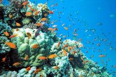 Banc des poissons de scalefin Image libre de droits