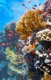 Banc des poissons sur le corail d'incendie Photographie stock libre de droits
