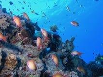 Banc des poissons sur le récif Photos stock