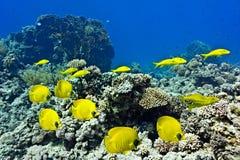 Banc des poissons sur le récif coralien Images libres de droits