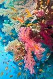 Banc des poissons sur le récif coralien Photo libre de droits