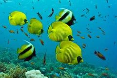 Banc des poissons sur le récif coralien Images stock