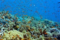 Banc des poissons sur le récif coralien Photos libres de droits