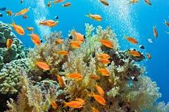 Banc des poissons sur le récif coralien Image libre de droits
