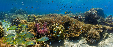 Banc des poissons sur le récif coralien - panorama Image stock