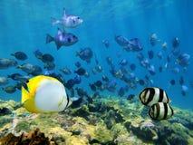 Banc des poissons tropicaux au-dessus d'un récif coralien Images libres de droits