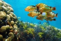 Banc des poissons tropicaux colorés dans un récif coralien Images libres de droits