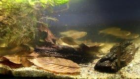 Banc poissons ornementaux d'amarus de Rhodeus, de bitterling européen et de Leucaspius de delineatus dans l'aquarium d'eau douce  banque de vidéos