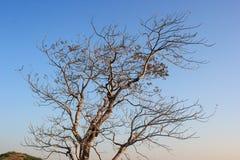 Bances secos isolados da árvore Foto de Stock Royalty Free