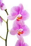 Banch av orkidéblomman Arkivbild
