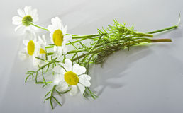 Banch of camomile Stock Image