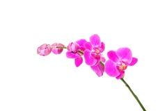 Banch de fleur d'orchidée Image libre de droits