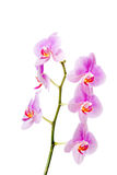 Banch de la flor de la orquídea Fotos de archivo libres de regalías