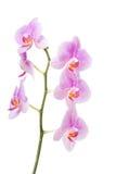 Banch del fiore dell'orchidea Immagini Stock