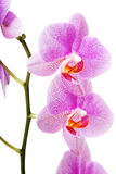 Banch del fiore dell'orchidea Fotografia Stock