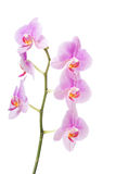 Banch der Orchideenblume Stockbilder