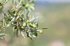 Banch di olivo Fotografia Stock Libera da Diritti