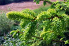 Banch of fir tree. Green banch of fir tree macro close-up royalty free stock photography
