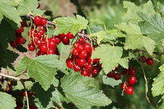 Banch of red currant Royalty Free Stock Photography