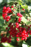 Banch of red currant. Red Currant hanging on a bush Stock Photos