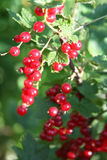 Banch of red currant. Red Currant hanging on a bush Stock Photography