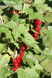 Banch of red currant Royalty Free Stock Image
