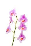 Banch storczykowy kwiat zdjęcia royalty free