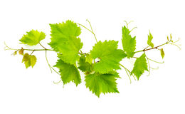 Banch of vine leaves isolated on white Stock Photo