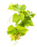 Banch of vine leaves isolated on white Stock Images