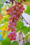 Banch von rosa Trauben Stockbild
