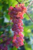 Banch von rosa Trauben in einem Garten Lizenzfreie Stockbilder