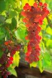 Banch von rosa Trauben in einem Garten Lizenzfreie Stockfotografie