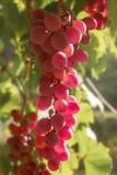 Banch von rosa Trauben in einem Garten Stockfotografie