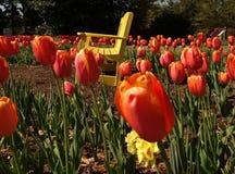Banco amarillo y tulipanes anaranjados brillantes Imágenes de archivo libres de regalías
