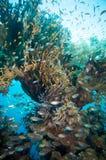 Banco de areia de Glassfish (vassouras douradas) na água azul clara do Mar Vermelho Fotos de Stock